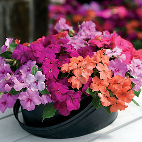Бальзамин Уоллера (Impatiens walleriana F1) Xtreme MIX, 5 семян