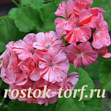 Пеларгония зональная (Pelargonium x hortorum) Divas Raspberry Ripple, 3 шт семян