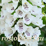 Наперстянка DIGITALIS PURPUREA DALMATIAN WHITE, 5 драже