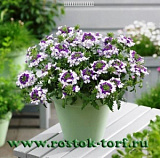 Вербена гибридная(Verbena hybrida) Obsession Twister Purple, 5 семян